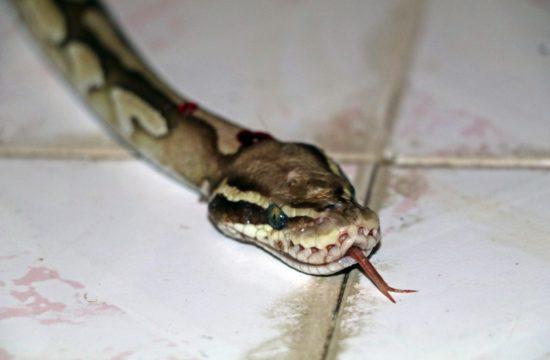 arefın-yılanı-1