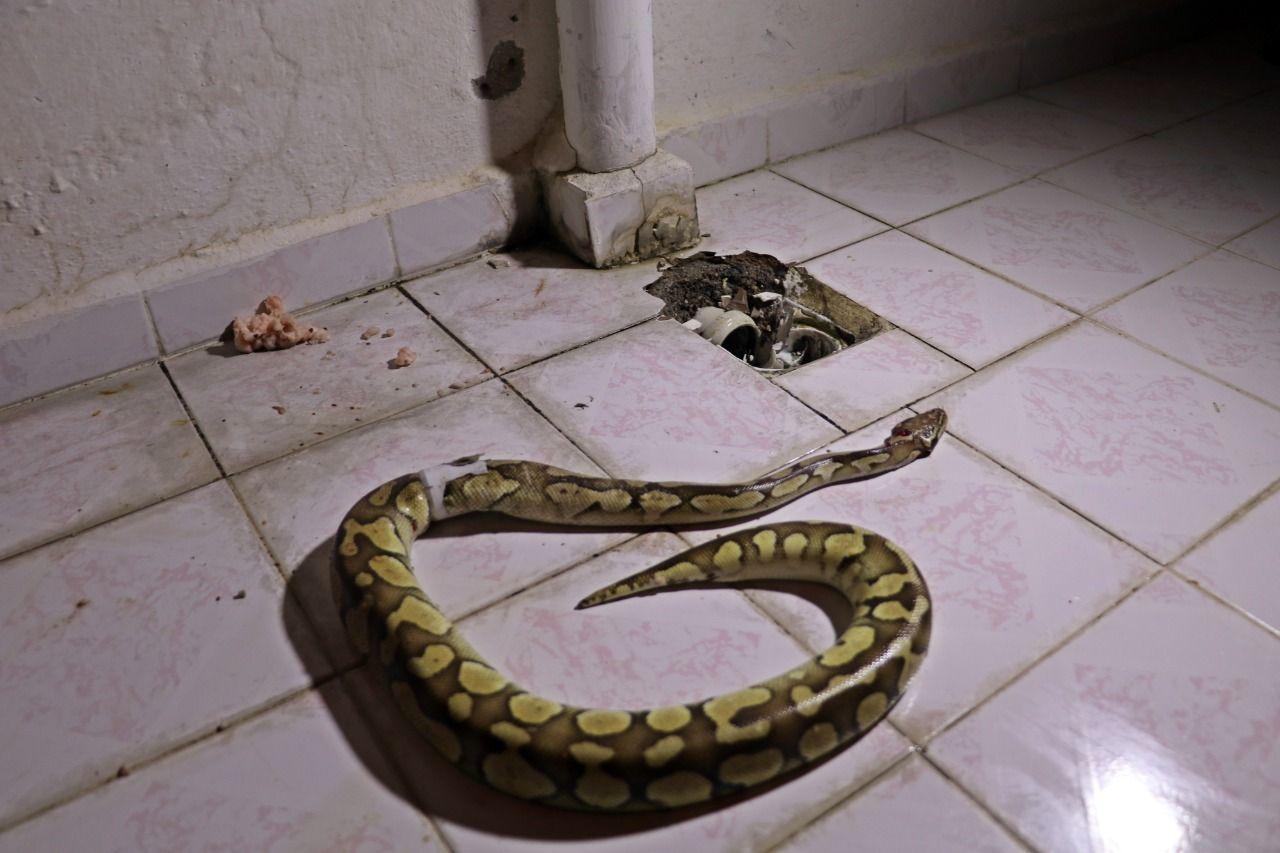arefın-yılanı